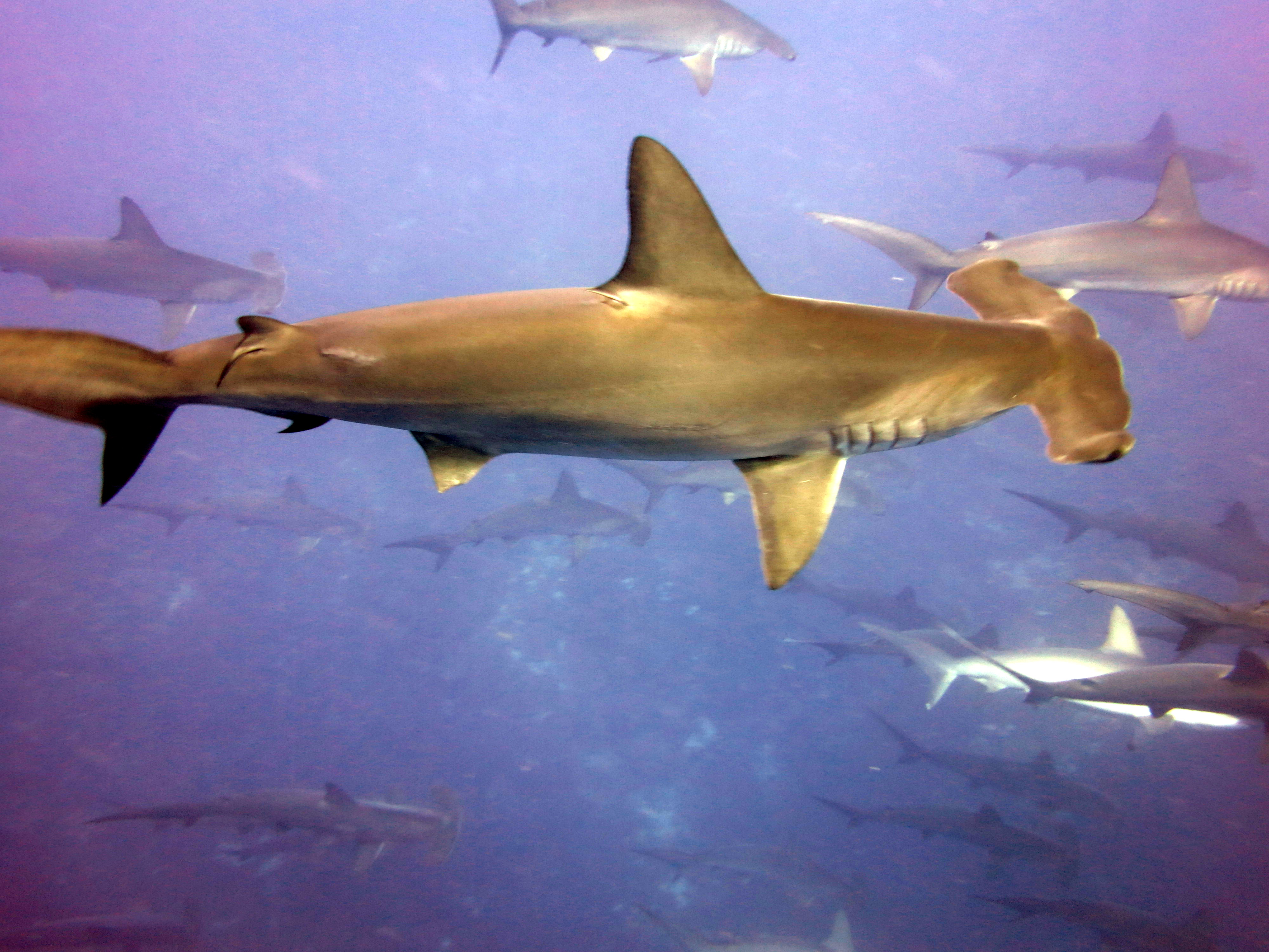 sharks at jarvis island office of marine and aviation operations